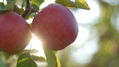 BIO kvalita našich jablek